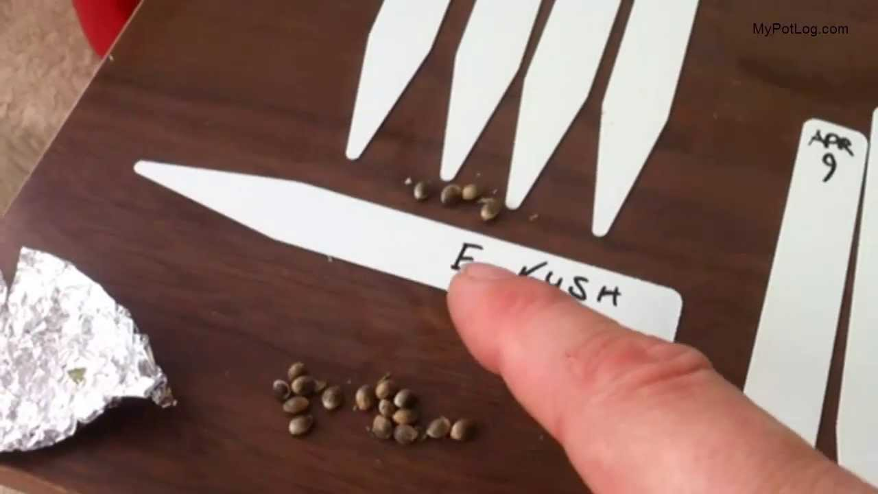 Cannabis Seed Selection, Germination and Seedling Care