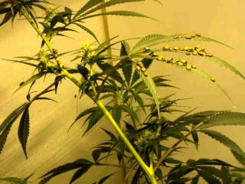 lady bugs attacking spiderites on medical cannabis grow