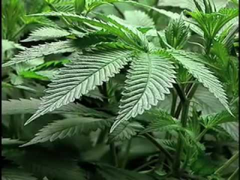 Medical Marijuana Cultivation 101 part 1 of 2 & Medical Marijuana 2x4 Scrog Grow tent - Day 41 Flowering ...