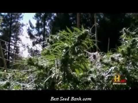 FULL Marijuana a Chronic History (Cannabis oil cures cancer. SEE more at cureyourowncancer.org)
