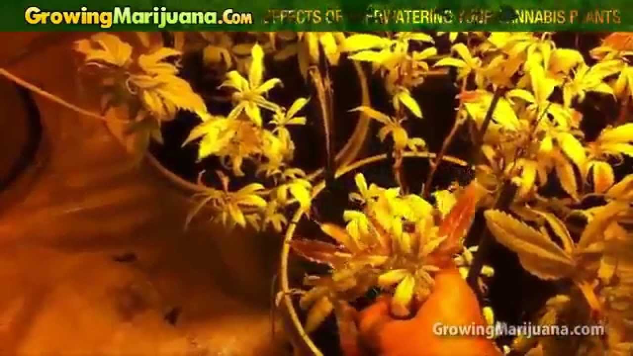 Effects Of Over Watering Your Cannabis Plants – Growing Weed