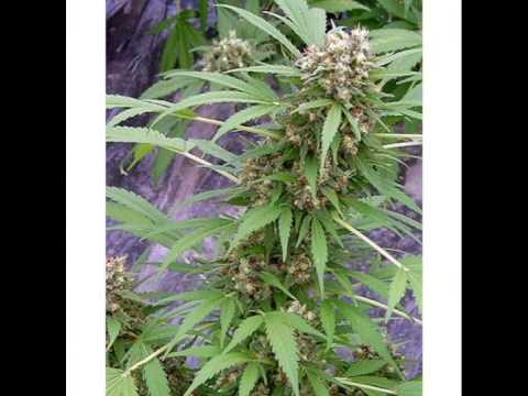 photo types of ganja plant (cannabis) (marihuana)